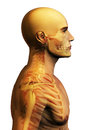 Anatomy man with skeleton seen through and medicine concept Royalty Free Stock Image