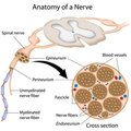 Anatomy of a nerve Stock Photos