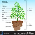 Anatomy of plant easy to edit vector illustration Royalty Free Stock Photo