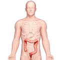 Anatomy of stomach transverse colon Stock Photography