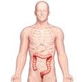 Anatomy of stomach transverse colon