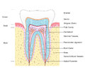 Anatomy of tooth labelled illustration the structure Stock Image