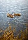 Anatre in lago Immagini Stock Libere da Diritti