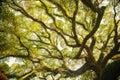 Ancient banyan canopy at sunny Stock Images