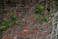 Ancient brick wall with tree root and new life of covered old strong green Stock Photography