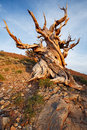 Ancient bristlecone pine forest in late afternoon Royalty Free Stock Photography