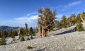 Ancient Bristlecone Pine Forest Royalty Free Stock Photo