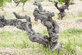Ancient Grapevine in Australian Vineyard, Barossa Valley Royalty Free Stock Photo