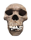 Ancient human skull isolated front view of an with large white front teeth on white Royalty Free Stock Photo