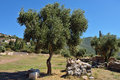 Ancient messini old olive tree on background of messenia peloponnese greece Stock Photos