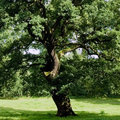 Ancient Oak Stock Image