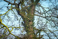 Ancient oak and ivy an tree the stem is covered with an old winding plant Royalty Free Stock Photography