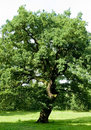 Ancient Oak Tree Royalty Free Stock Image