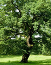 Ancient Oak Tree Stock Photography