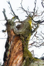 Ancient oak tree close up of gigant with green fungus on bright background Stock Photo