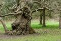 Ancient oak tree Royalty Free Stock Photo