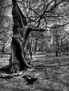 Ancient oak tree sherwood forest shot at the home of robin hood Royalty Free Stock Photos