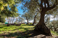 Ancient olive grove Royalty Free Stock Photo