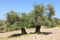 Ancient olive trees grove of the in judea hills israel Royalty Free Stock Photos
