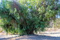 Ancient Pepper Tree Royalty Free Stock Photo