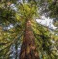 Ancient redwood tree Royalty Free Stock Photo