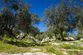 Ancient road with olive trees noto antica sicily italy Royalty Free Stock Photo