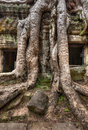 Ancient ruins and tree roots ta prohm temple angkor cambodia high dynamic range hdr image of with Royalty Free Stock Photo