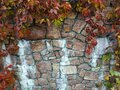 Ancient stone wall covered in red ivy Royalty Free Stock Photo