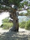 Ancient tree Royalty Free Stock Photo