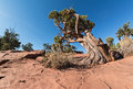 Ancient Utah Juniper Royalty Free Stock Photo