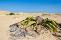 Ancient welwitschia mirabilis desert plant growing in dry river bed, Angola Royalty Free Stock Photo