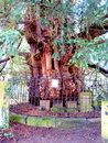 Ancient yew tree at st helen s church derbyshire this was used by the britains as a meeting place for worship and is said to be Stock Photo