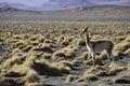 Anc�tre de vigogne de lama et d'alpaga dans les Andes Images libres de droits