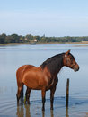 Andalusian Spanish Horse Royalty Free Stock Image