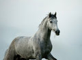 Andalusian stallion young running against the sky Royalty Free Stock Image