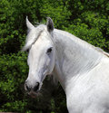 Andalusian white stallion in sunny day portrait of with braided mane at the rest Royalty Free Stock Photos