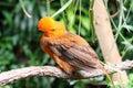 Andean cock-of-the-rock bird Rupicola rupicola peruvianus Royalty Free Stock Photo