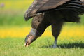 Andean condor the detail of Royalty Free Stock Photo