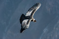 Andean condor flying in the Colca Canyon Arequipa Peru Royalty Free Stock Photo