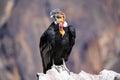 Andean Condor Sitting At Mirad...