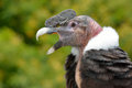 Andean condor vultur gryphus portrait close up Stock Photography