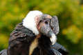 Andean condor vultur gryphus portrait close up Royalty Free Stock Photos