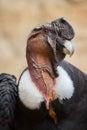 Andean condor (Vultur gryphus). Royalty Free Stock Photo