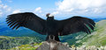 Andean condor in wildness Royalty Free Stock Photo