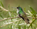 Andean emerald amazilia franciae portrait of a beautiful green and turquoise hummingbird perching on a leafy branch mindo ecuador Stock Photo