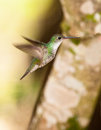 Andean Emerald Hummingbird Royalty Free Stock Photography