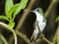Andean emerald hummingbird amazilia franciae on a branch mindo ecuador Stock Image