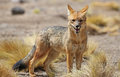 Andean fox in Siloli desert bolivia Royalty Free Stock Photo