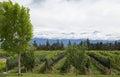 Andes & Vineyard, Uco Valley, Mendoza Royalty Free Stock Photo