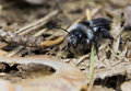Andrena cineraria Stock Photography